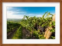 Grenache Grapes From A Vineyard Fine Art Print
