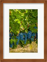 Cabernet Sauvignon Grapes Near Harvest Fine Art Print