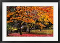 Red Vine Maple In Full Autumn Glory Fine Art Print