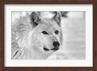Wolf B&W 5014 Fine Art Print