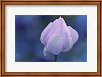 Tender Morning with Lotus Fine Art Print