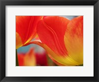 Macro Of Colorful Tulip 3, Netherlands Fine Art Print