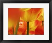 Macro Of Colorful Tulip 4, Netherlands Fine Art Print
