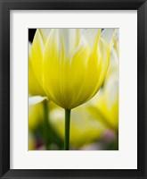 Tulip Close-Ups 5, Lisse, Netherlands Fine Art Print