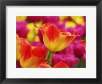 Colorful Tulip 2, Netherlands Fine Art Print