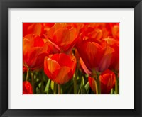 Red Tulips In Mass, Nord Holland, Netherlands Fine Art Print