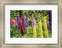 Colorful Lupines Fine Art Print