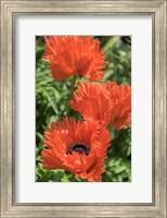 Orange Oriental Poppies Fine Art Print
