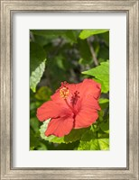 Hibiscus, New Smyrna Beach, Florida Fine Art Print