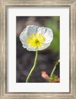 White Poppy Garden Fine Art Print