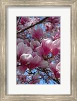 Pink Magnolia Blossoms and Cross on Church Steeple, Reading, Massachusetts Fine Art Print
