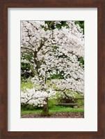 Cherry Trees Blossoming in the Spring, Washington Park Arboretum, Seattle, Washington Fine Art Print