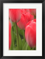 Tulips In A Garden 1, Victoria, Canada Fine Art Print