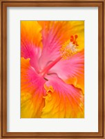 Pink And Yellow Hibiscus Flower,  San Francisco, CA Fine Art Print