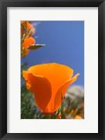 Poppies Spring Bloom 2. Lancaster, CA Fine Art Print