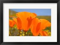 Poppies Spring Bloom 4. Lancaster, CA Fine Art Print