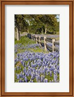 Lone Oak Tree Along Fenceline With Spring Bluebonnets, Texas Fine Art Print