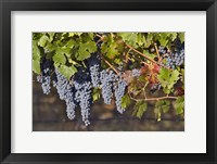 Close Up Of Cabernet Sauvignon Grapes In The Haras De Pirque Vineyard, Chile, South America Fine Art Print
