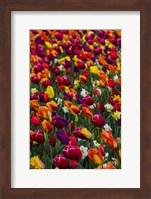 Wind Blows A Field Of Multi-Colored Tulips, Mount Vernon, Washington State Fine Art Print