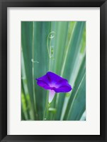 Purple Morning Glory Fine Art Print