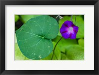Purple Morning Glory 2 Fine Art Print