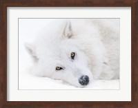 Alberta, Yamnuska Wolfdog Sanctuary White Wolfdog Portrait Fine Art Print