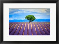 Europe, France, Provence, Valensole Plateau Field Of Lavender And Tree Fine Art Print