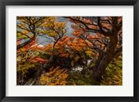 Argentina, Los Glaciares National Park Lenga Beech Trees In Fall Fine Art Print