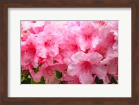 Evergreen Azalea Blooms In The Spring And Summer Fine Art Print