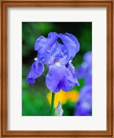 Delaware, Close-Up Of A Blue Bearded Iris Fine Art Print