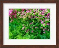 Delaware, Azalea Shrub With Ferns Below In A Garden Fine Art Print