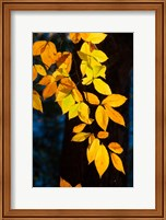 Sunlight Filtering Through Colorful Fall Foliage Fine Art Print