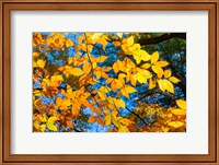 Sunlight Filtering Through Colorful Fall Foliage 1 Fine Art Print