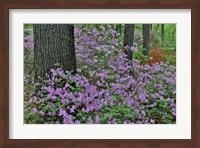 Azaleas In Bloom, Jenkins Arboretum And Garden, Pennsylvania Fine Art Print