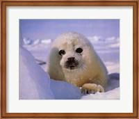 Seal - baby Fine Art Print