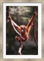 Orangutan Baby Fine Art Print