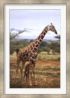 Giraffe And Baby Wall Poster