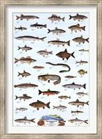 Freshwater Fish Wall Poster
