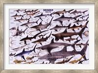 Sharks Wall Poster