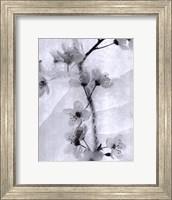 Cherry Blossoms in Winter Fine Art Print