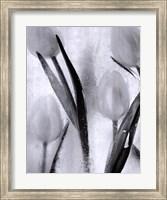 Tulips on Ice Fine Art Print