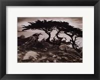 Monterey Cypress Fine Art Print