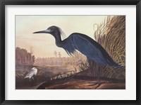 Little Blue Heron Fine Art Print