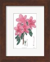 Azalea No. 3 Fine Art Print