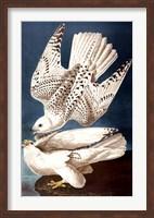 Iceland or Ier Falcon Fine Art Print