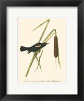 Audubon's Blackbird Fine Art Print