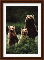Bears Wall Poster