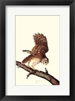 Barrew Owl Fine Art Print