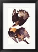 Crested Caracara Fine Art Print