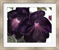 Black and Purple Petunias Fine Art Print